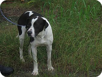 Pointer/American Bulldog Mix Dog for adoption in Huntingdon, Tennessee - Roscoe
