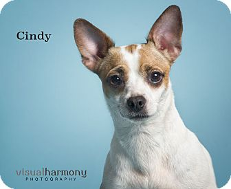 Beagle/Jack Russell Terrier Mix Dog for adoption in Phoenix, Arizona - Cindy