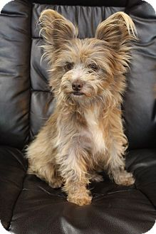 Papillon/Yorkie, Yorkshire Terrier Mix Dog for adoption in Allentown, Pennsylvania - Cricket