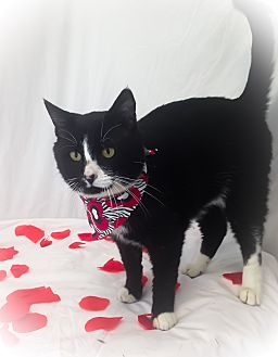 Domestic Shorthair Cat for adoption in Savannah, Georgia - Braxton