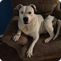 American Bulldog/Labrador Retriever Mix Dog for adoption in Dallas, Texas - Dally