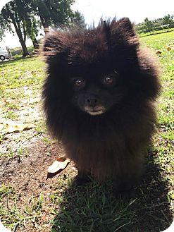 Pomeranian Dog for adoption in Boca Raton, Florida - Bear