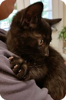Domestic Mediumhair Kitten for adoption in Alpharetta, Georgia - (KITTEN) Faith