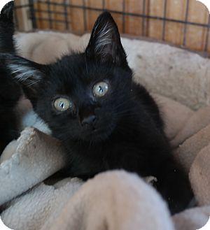 Domestic Shorthair Kitten for adoption in San Pablo, California - BABY KITTEN 5