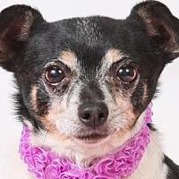 Chihuahua Mix Dog for adoption in Colorado Springs, Colorado - Salsa