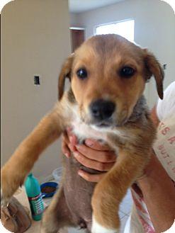 Labrador Retriever Mix Puppy for adoption in BONITA, California - Kahlua