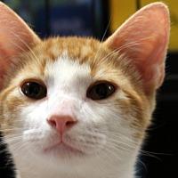 Domestic Shorthair Kitten for adoption in Madisonville, Louisiana - Clove