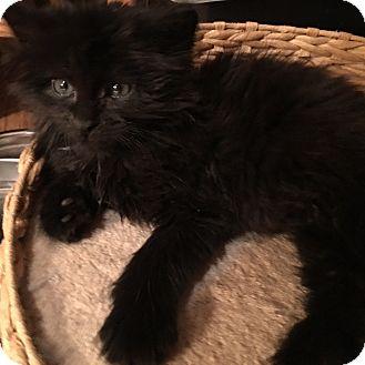 Siamese Kitten for adoption in Loveland, Colorado - Rick