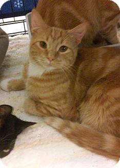Domestic Shorthair Cat for adoption in Yorba Linda, California - Fagan