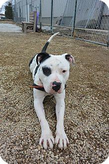 Pit Bull Terrier Mix Dog for adoption in Meridian, Idaho - Blackeye