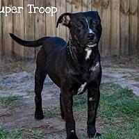 Adopt A Pet :: SUPER TROOP - BROOKSVILLE, FL