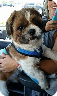 Shih Tzu Mix Dog for adoption in Urbana, Ohio - Bindae Korea