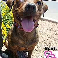 Adopt A Pet :: Spirit - Canutillo, TX