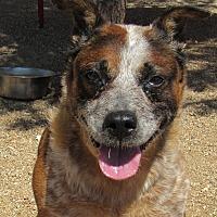 Adopt A Pet :: Kramer - Sierra Vista, AZ