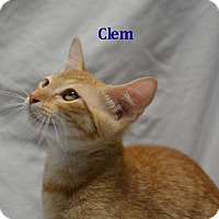 Domestic Shorthair Kitten for adoption in Miami Shores, Florida - Clem