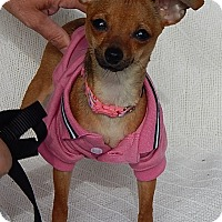 Adopt A Pet :: Sadie (2 lb) Precious Pea - Williamsport, MD