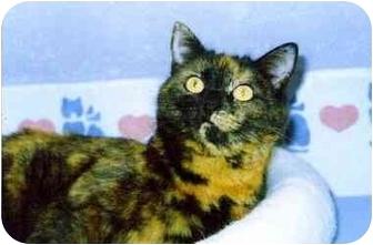 Domestic Shorthair Cat for adoption in Medway, Massachusetts - Angel