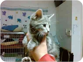 Domestic Shorthair Kitten for adoption in Erie, Pennsylvania - Mistletoe