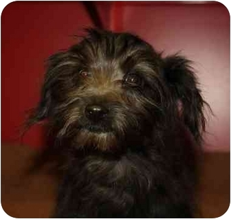 Terrier (Unknown Type, Small)/Poodle (Toy or Tea Cup) Mix Puppy for adoption in Brighton, Michigan - Rosie
