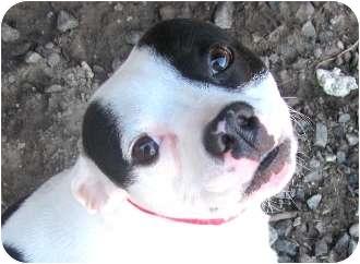 Boston Terrier/American Bulldog Mix Dog for adoption in North Augusta, South Carolina - ANGEL