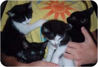 Domestic Shorthair Kitten for adoption in Troy, Ohio - Jenkins, Midnite, Homer, Chen