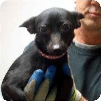 Chihuahua Dog for adoption in Manassas, Virginia - Mouse