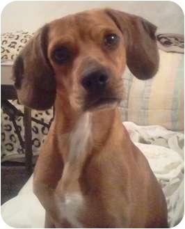 Beagle/Cocker Spaniel Mix Dog for adoption in Orlando, Florida - Biscuit