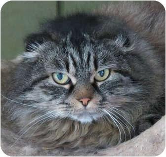 Scottish Fold Cat for adoption in Davis, California - Foldimort