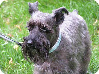 Schnauzer (Miniature) Dog for adoption in Rigaud, Quebec - Spock