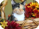 Calico Cat for adoption in Tampa, Florida - Autumn