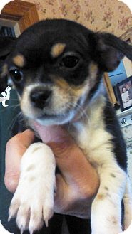 Terrier (Unknown Type, Small) Mix Puppy for adoption in Kalamazoo, Michigan - Darcy