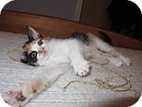 Domestic Mediumhair Kitten for adoption in Tampa, Florida - Marissa