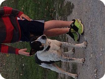 Australian Cattle Dog Mix Dog for adoption in Pilot Point, Texas - HEELER