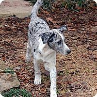 Adopt A Pet :: Baboo-Blue Eyes - Clinton, LA