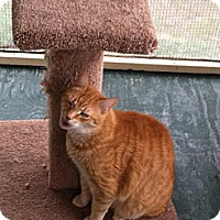 Domestic Shorthair Cat for adoption in MECHANICSVILLE, Virginia - LUKE