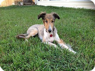 Sheltie, Shetland Sheepdog Dog for adoption in Littleton, Colorado - Lizzie