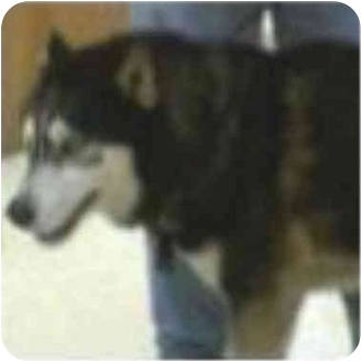 Siberian Husky Dog for adoption in Various Locations, Indiana - Remington