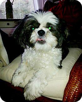 Shih Tzu Dog for adoption in Hillsboro, Illinois - Sweetie