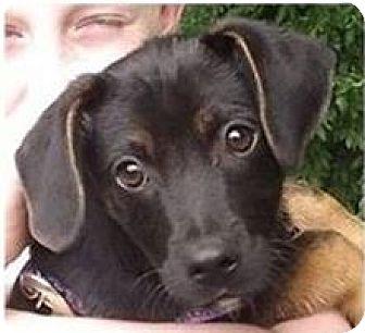 Beagle/Labrador Retriever Mix Puppy for adoption in Huntley, Illinois - Taz