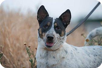Australian Shepherd Mix Dog for adoption in Corona, California - SHEEBA