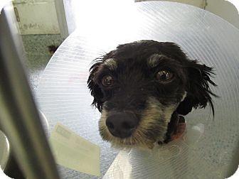 Poodle (Miniature) Mix Dog for adoption in Pico Rivera, California - Dipper