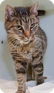 Domestic Shorthair Cat for adoption in Parma, Ohio - Jumper