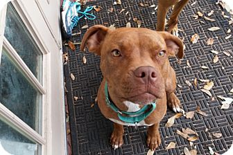 Pit Bull Terrier/Boxer Mix Dog for adoption in Houston, Texas - Penny