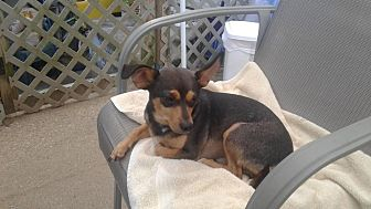 Chihuahua/Dachshund Mix Dog for adoption in Mount Gretna, Pennsylvania - Spencer