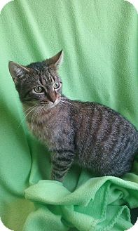 Domestic Shorthair Cat for adoption in South Haven, Michigan - Giselle