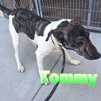 Adopt A Pet :: Tommy - Barnwell, SC