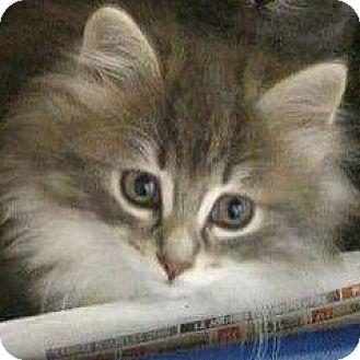 Domestic Longhair Kitten for adoption in THORNHILL, Ontario - Cruller