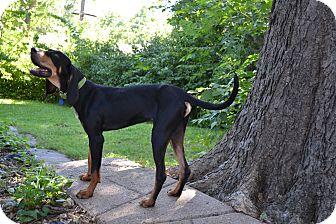 Coonhound Mix Dog for adoption in Manhattan, Kansas - Tank