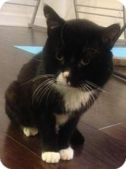 Domestic Shorthair Cat for adoption in Worcester, Massachusetts - Sammy