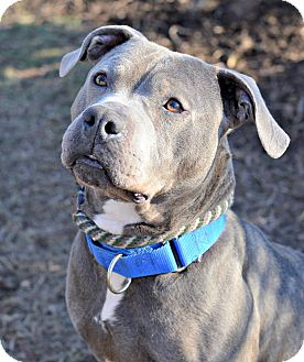 American Pit Bull Terrier Mix Dog for adoption in Cranford, New Jersey - Baloo
